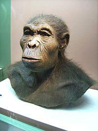 Ricostruzione di Homo habilis