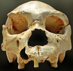 Cranio dell'Homo heidelbergensis rinvenuto ad Atapuerca.