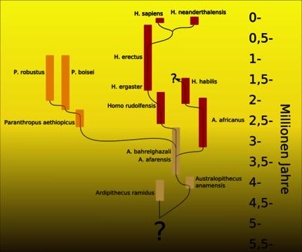 potesi evolutiva degli australopitecini secondo il paleoantropologo tedesco Friedemann Schrenk, dove H. habilis viene ascritto ad un ramo evolutivo strettamente australopiteco. La scala temporale a destra è in milioni di anni.