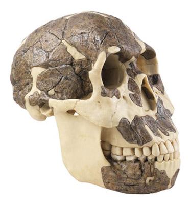 Località di ritrovamento di fossili di Homo rudolfensis Koobi Fora, Kenia; Uraha, MalawiEtà: Reperti Koobi Fora: circa 2,0 – -1,8 milioni di anni, Pliocene superiore/Pliocene inferiore Reperto Uraha: circa 2,5 – -2,1 milioni di anni, Pliocene superiore. Il è diviso in 2 pezzi. Peso 0,640 kg.