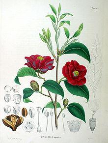 Tavola botanica di Camellia japonica